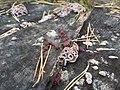 Chondrostereum purpureum 101578637.jpg