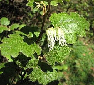 <i>Chorilaena</i> species of plant