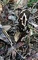 Chorioactis geaster 3.jpg