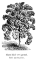 Chou frisé vert grand Vilmorin-Andrieux 1904.png