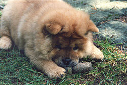 Chow chow puppy.jpg