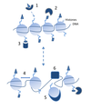Chromatin structure and binding proteins can affect transcription through multiple avenues - journal.pbio.1001371.g002.png
