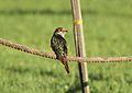 Chrysococcyx caprius (Cuculidae) (Diederik Cuckoo), Gauteng, South Africa.jpg