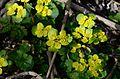 Chrysosplenium alternifolium12.JPG