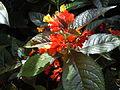 Chrysothemis pulchella - Jardin botanique de Deshaies.JPG