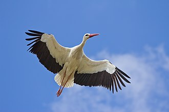 White stork - In flight. White storks fly with their necks outstretched.