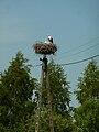Ciconia ciconia nest in Czerniki.jpg