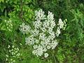 Cicuta maculata inflorescence.JPG