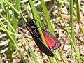 Cinnabar moth 02 NZ.jpg