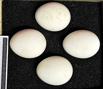 Hen harrier - Eggs, Collection Museum Wiesbaden
