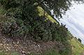Cistus albidus, Castelnau-de-Guers, Hérault.jpg