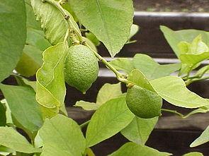 Zitrone (Citrus limon)