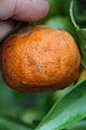 Citrus reticulata-Cleopatra IMG 2579.JPG