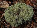 Cladonia subtenuis - Flickr - pellaea (2).jpg