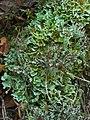 Cladonia symphycarpia (29072133337).jpg