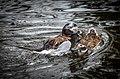 Clangula hyemalis (Long-tailed Duck - Eisente) - Weltvogelpark Walsrode 2012-10.jpg
