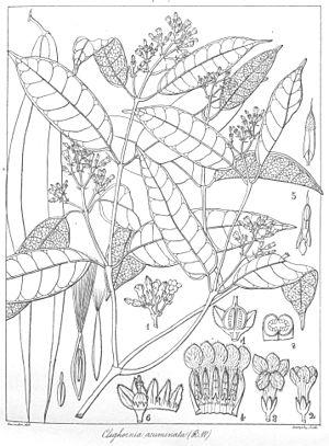 Hugh Cleghorn (forester) - Cleghornia acuminata described by Robert Wight