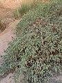 Clematis ligusticifolia kz01.jpg