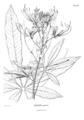 Cleome speciosa-Nova genera-V5-Tab 436.png