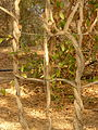 Climber Plant Weaving-3 (5163933740).jpg