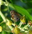 Cluster-fly. Pollenia rudis - Flickr - gailhampshire.jpg