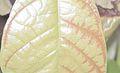 Cocoa Swollen Shoot Leaf symptom.jpg