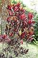Codiaeum variegatum 59zz.jpg