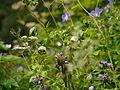 Codonopsis rotundifolia (7821763118).jpg