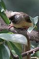 Colius striatus -near Baringo Lake, Kenya-8.jpg