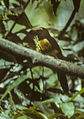 Collared Aracari - Costa Rica (16222846457).jpg