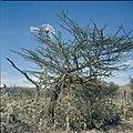 Collectie Nationaal Museum van Wereldculturen TM-20029858 Calabasboom, op de achtergrond een windmolen Curacao Boy Lawson (Fotograaf).jpg
