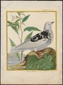 Columba livia - 1700-1880 - Print - Iconographia Zoologica - Special Collections University of Amsterdam - UBA01 IZ18900111.tif