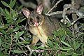 Common Brushtail Possum - Flickr - GregTheBusker.jpg