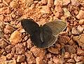 Common Bushbrown Mycalesis perseus by Dr Raju Kasambe DSCN2835 (1).jpg
