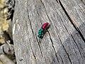 Common Cuckoo Wasp (Chrysis ignita) (8337942603).jpg