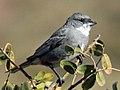 Common Diuca-Finch RWD4.jpg