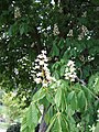 Common Horse Chestnut (Aesculus hippocastanum) - geograph.org.uk - 437376.jpg