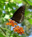 Common Indian Crow. Euploea core - Flickr - gailhampshire.jpg
