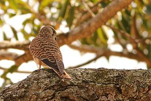 Kaggalipura - Common Kestrel in Kaggalipura