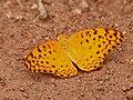 Common Leopard (Phalanta phalantha) mud-puddling W IMG 9349.jpg