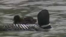 File:Common Loon (Gavia Immer).webm