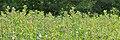 Common Milkweed (Asclepias syriaca) - Guelph, Ontario 04.jpg