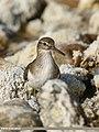 Common Sandpiper (Actitis hypoleucos) (30452569467).jpg