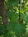 Common hop (Humulus lupulus) (4653966133).jpg