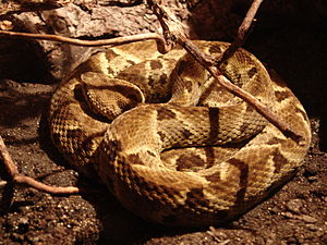 Health care in Colombia - Bothrops atrox is the main cause of death for snakebite in Colombia.