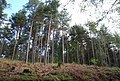 Conifers, St Leonards Forest (2) - geograph.org.uk - 1288430.jpg