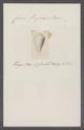 Conus frigidus - - Print - Iconographia Zoologica - Special Collections University of Amsterdam - UBAINV0274 086 02 0045.tif