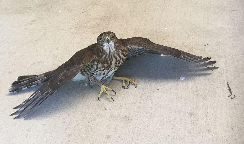 File:Cooper's hawk at Jackson Bottom.jpg