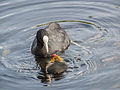 Coot, with young (14400699203).jpg