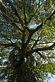 Copaiba tree vertical.jpg